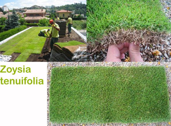 gazon zoysia tenuifolia jardin minute. Black Bedroom Furniture Sets. Home Design Ideas
